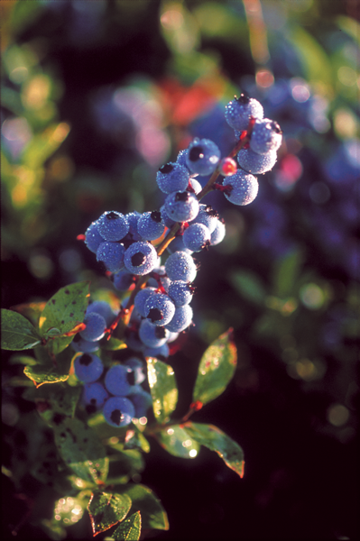 ©Wild blueberry Association of North America