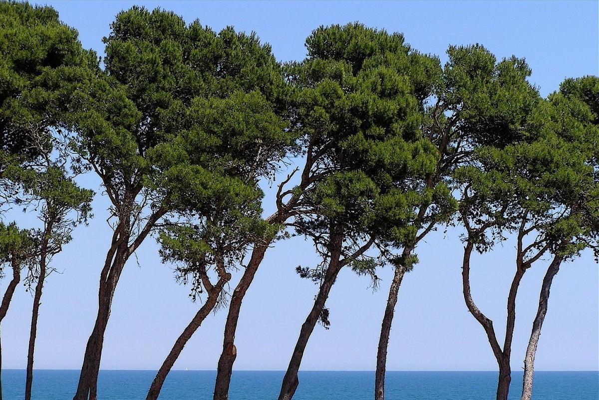 le pin est votre arbre protecteur hortus focus i mag. Black Bedroom Furniture Sets. Home Design Ideas