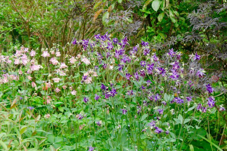 jardin isa - aquilegia - ancolie