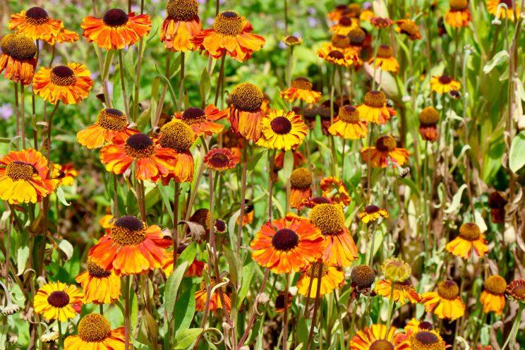 Helenium 'Sahins Early Flower'