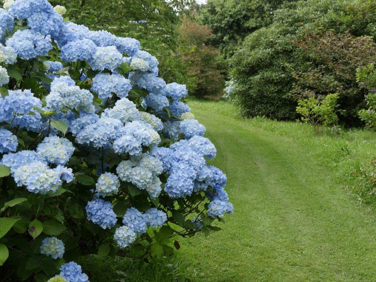 Hydrangea macrophylla - Les arbres du monde à Huelgoat, Bretagne