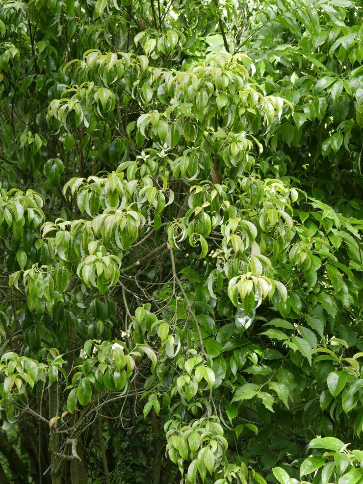 Cornus angustata - Les arbres du monde à Huelgoat, Bretagne
