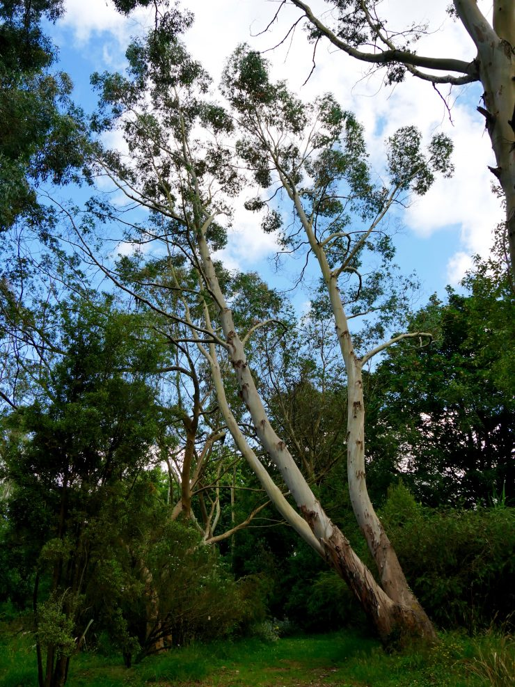 Eucalyptus - Les arbres du monde à Huelgoat, Bretagne