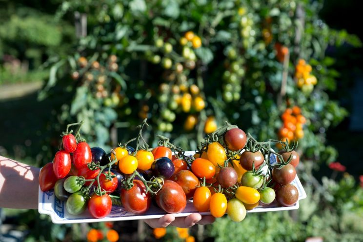 Tomates cerises. ©Jacques Moreau Pictures.