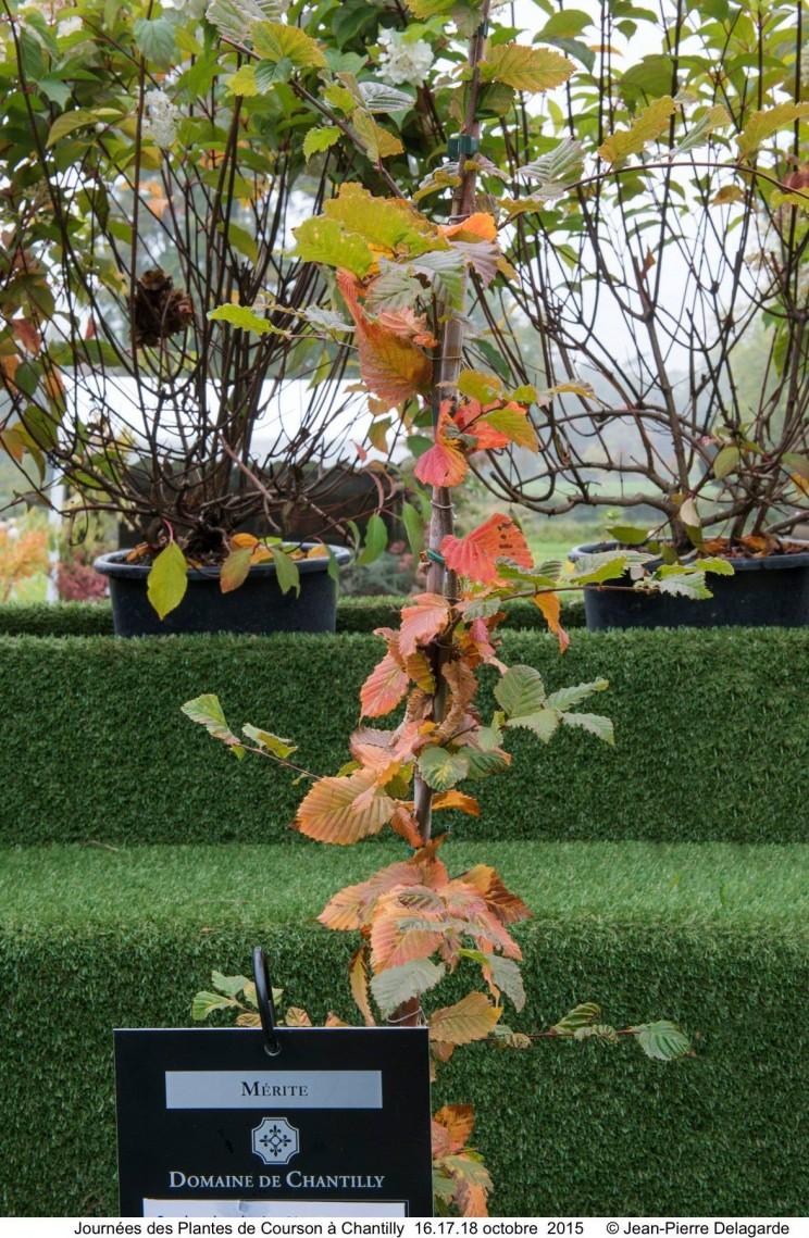 Carpinus betulus Rockhampton Red©