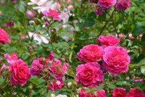 roses du rosier Chapi Chapo