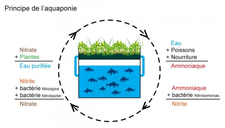 L'aquaponie, comment ça marche ?