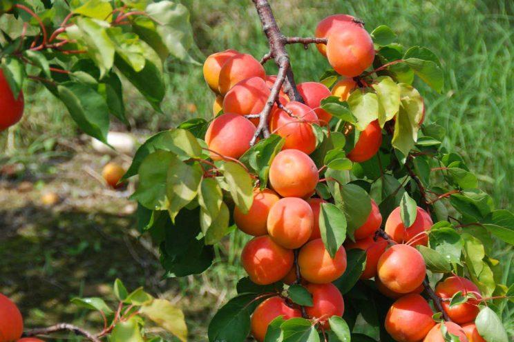 Abricots sur la branche