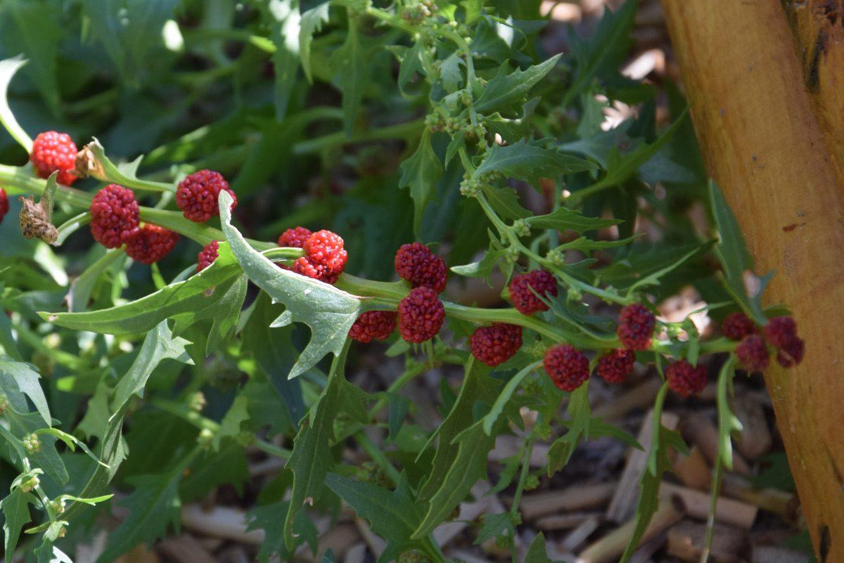 Épinard-fraise