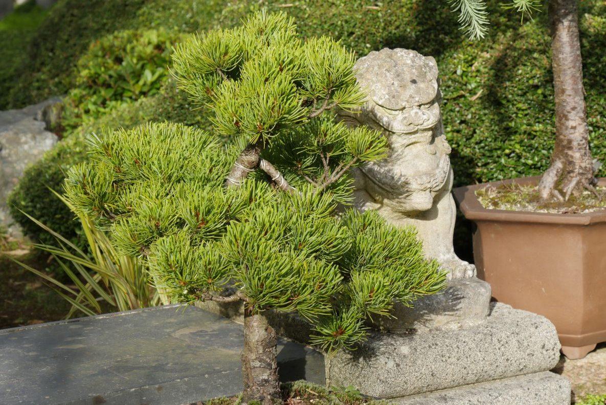 collection de bonsaï