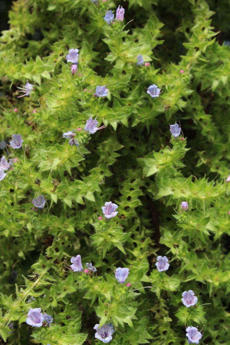 fleurs d'echium