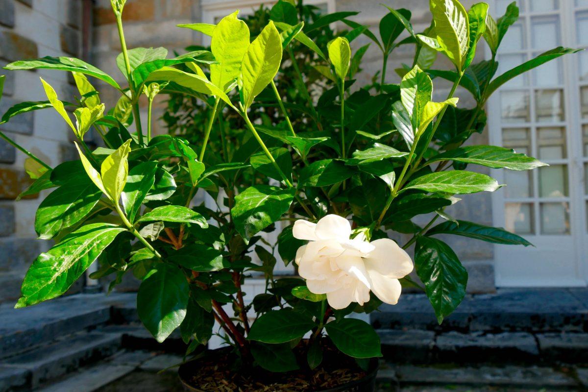 gardenia rustique