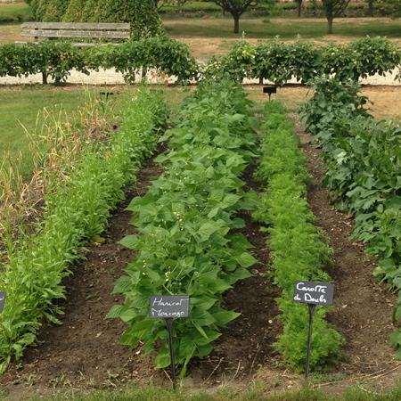 haricots et carottes
