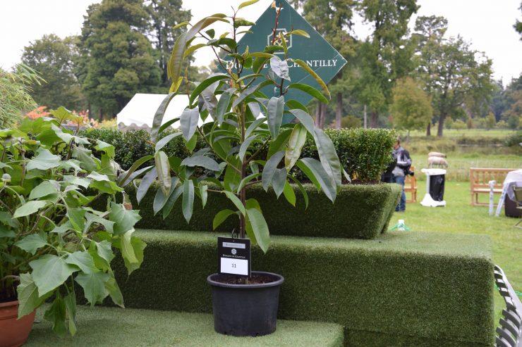 Magnolia faveolata