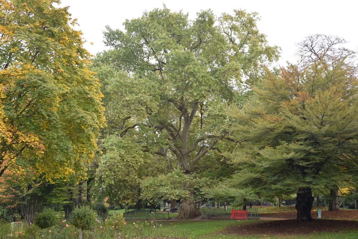 le platane d'orient, arbre remarquable du parc monceau | hortus