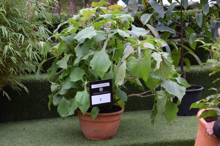 Polymnia sonchifolia