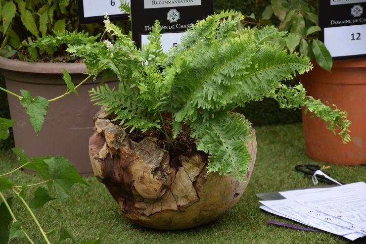 Polypodium cambricum pulcherrimum - Ecoute s'il pleut
