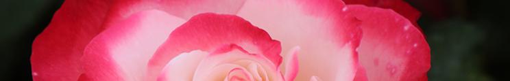 rose-nostalgie-mtigrek2