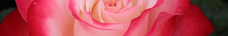 rose-nostalgie-mtigrek3