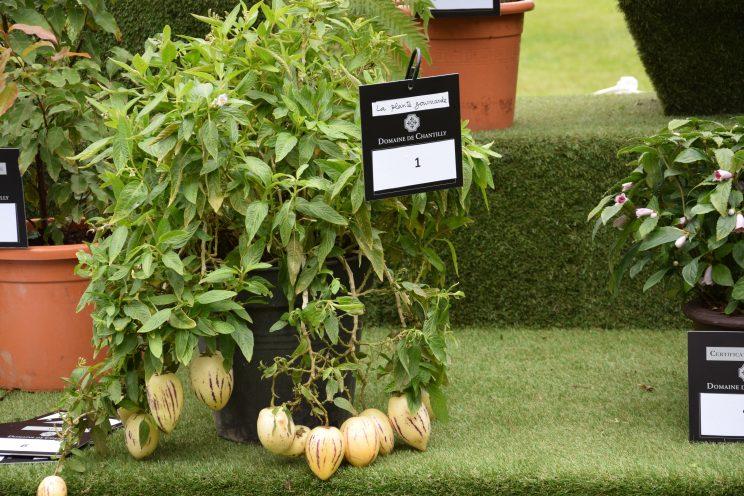 Solanum muricatum