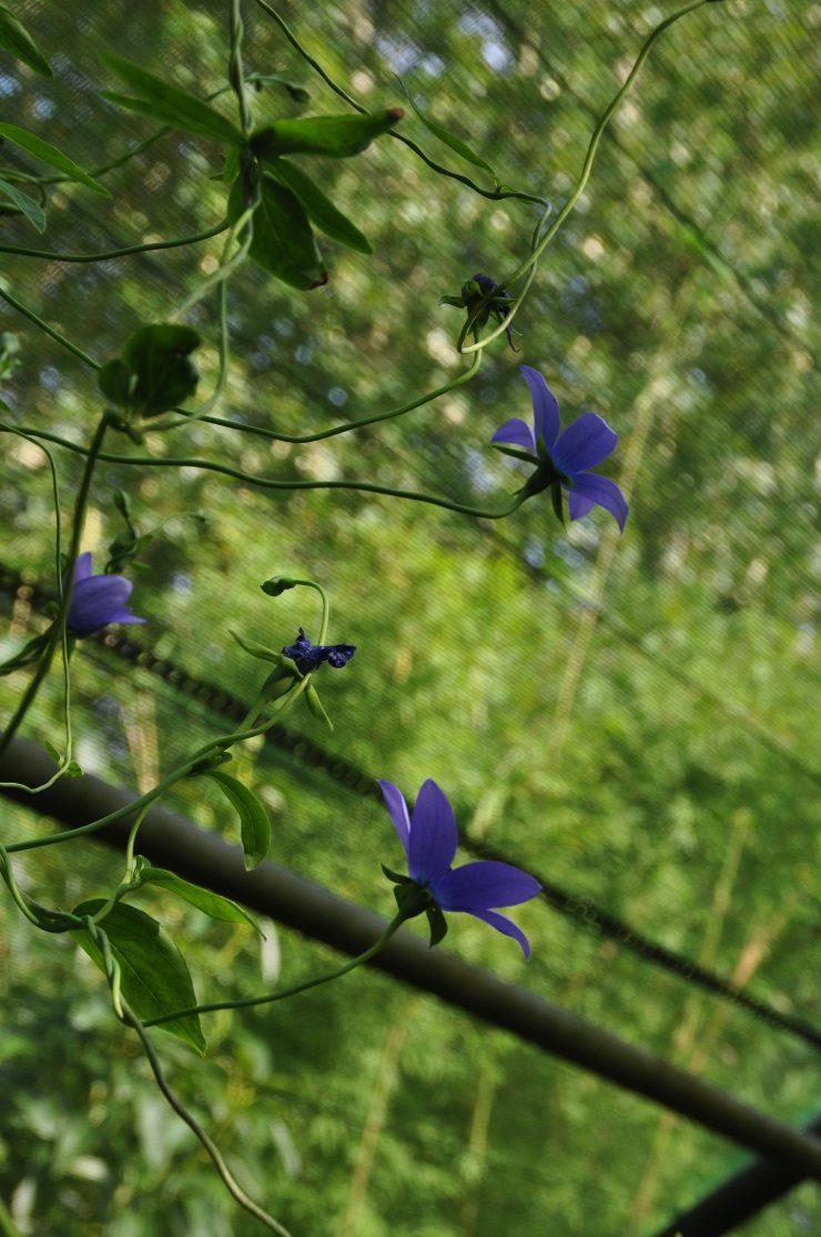 Codonopsis forestii