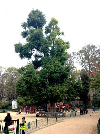 Ginkgo biloba du Parc Monceau
