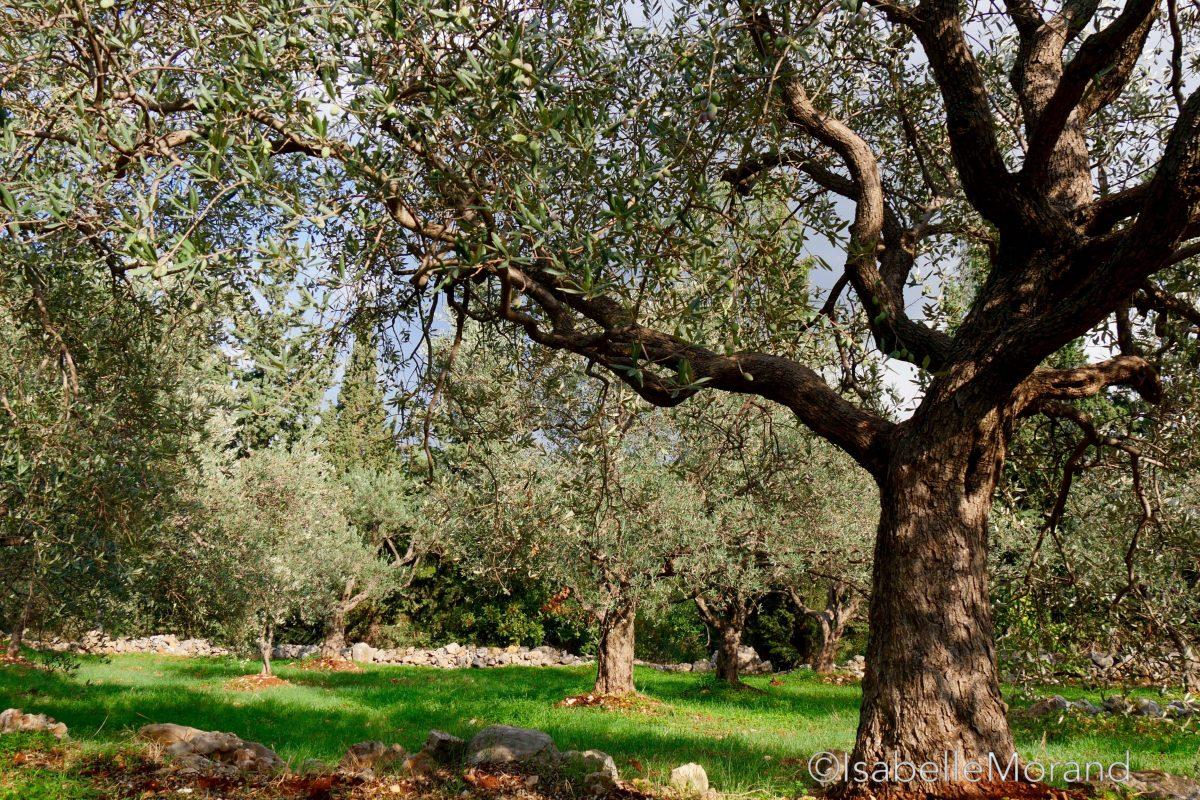 tailler l'olivier : Olivier