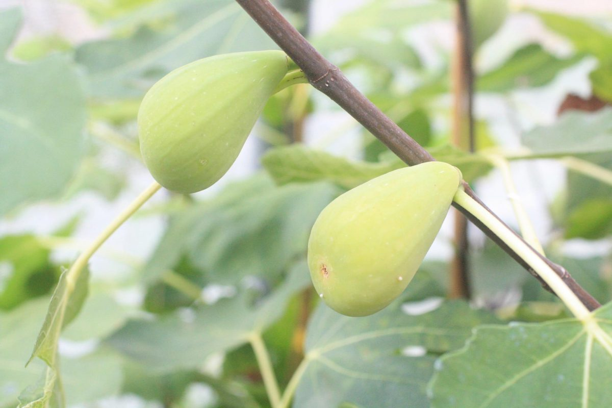 Figues 'Gayet'