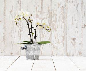 Orchidée blanche en pot
