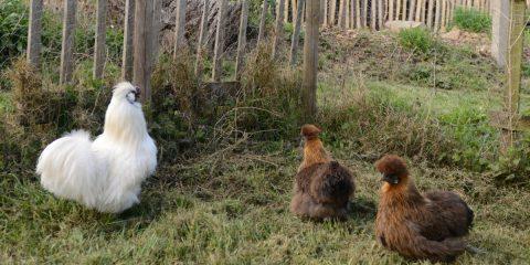 Poules nègre-soie