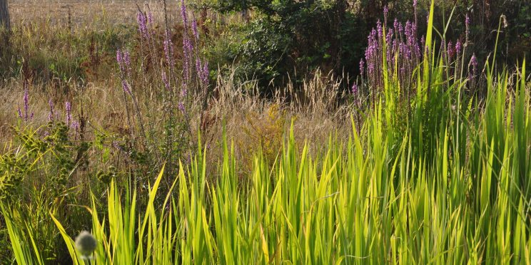 Zizania latifolia