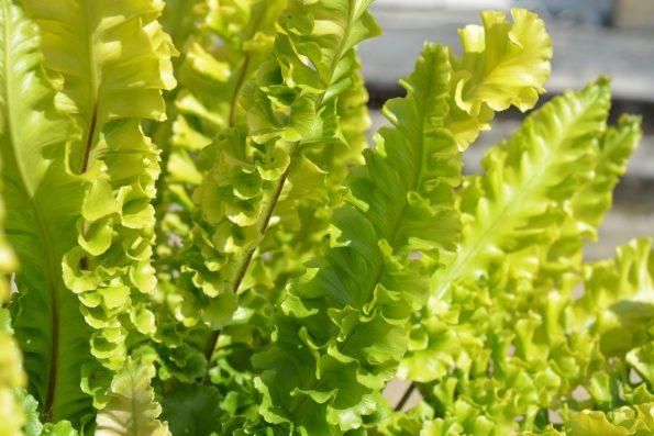 Plantes indéfrisables : Asplenium Scolopendrium 'Bolton's Nobile'