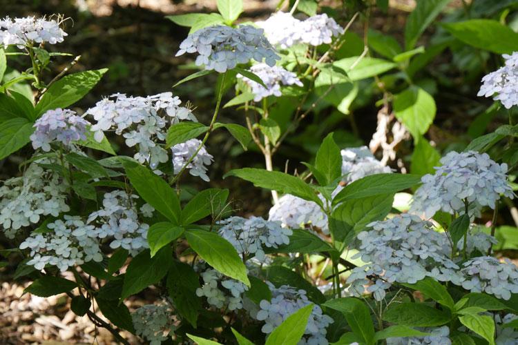 Hydrangea serrata 'Besshi Temari' Pépinière : Sous-un-arbre-perche