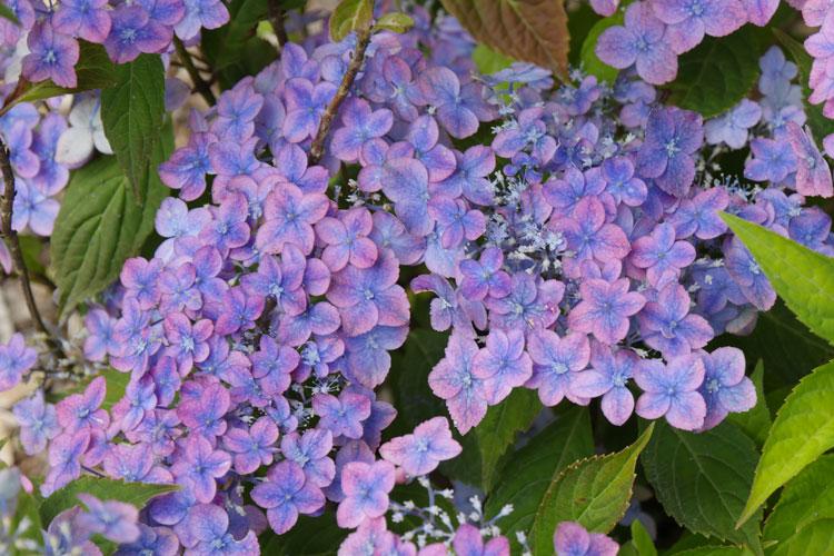 Hydrangea serrata 'Confetti' Pépinière : Sous-un-arbre-perche