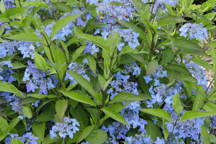 Hydrangea serrata 'Crûg Cobalt' Pépinière : Sous-un-arbre-perche