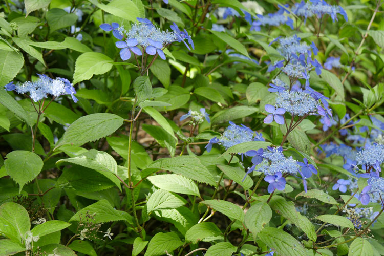 Hydrangea serrata 'Hyuga Konjo' Pépinière : Sous-un-arbre-perche