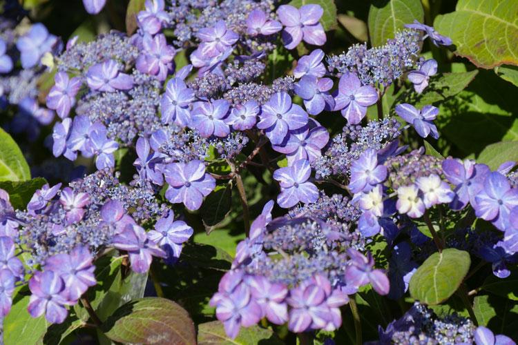 Hydrangea serrata 'Hyuga Shibori' Pépinière : Sous-un-arbre-perche