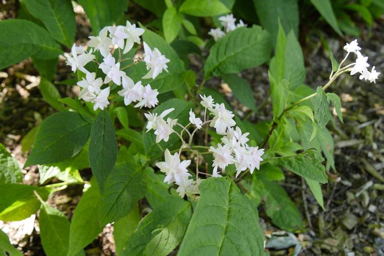 Hydrangea serrata 'Kocho-no-mai' Pépinière : Sous-un-arbre-perche