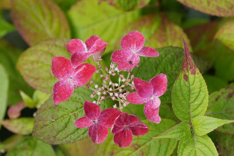 Hydrangea serrata 'Kurenai ' Pépinière : Sous-un-arbre-perche