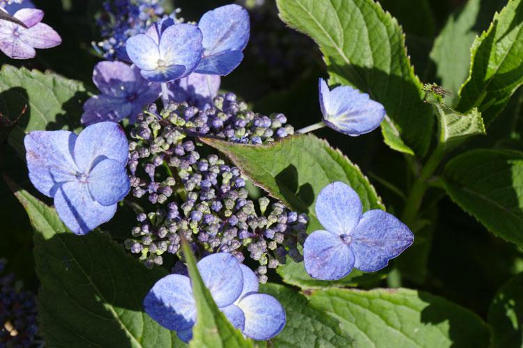 Hydrangea serrata 'Lace Delight' Pépinière : Sous-un-arbre-perche