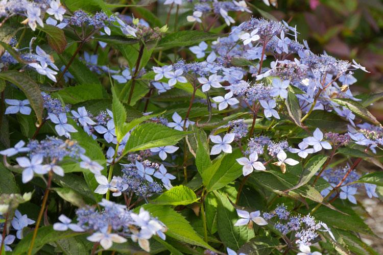 Hydrangea serrata 'Otsu Hime' Pépinière : Sous-un-arbre-perche