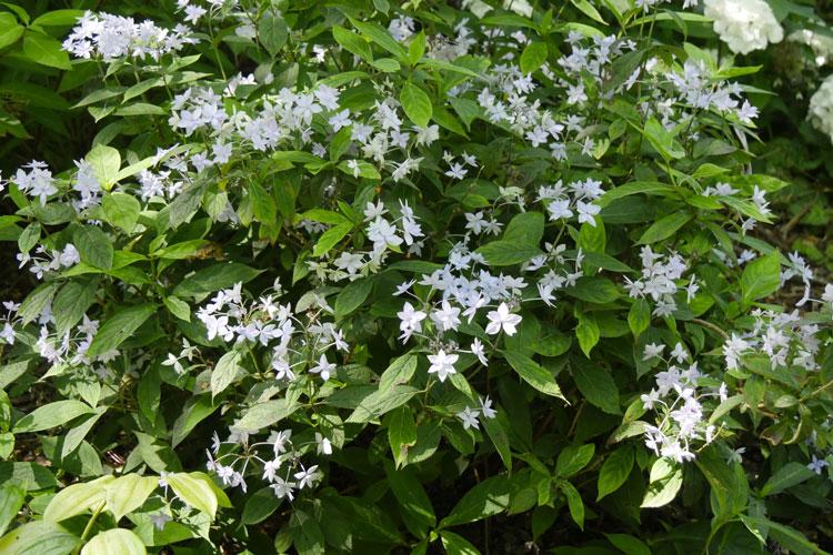 Hydrangea serrata 'Prolifera' Pépinière : Sous-un-arbre-perche