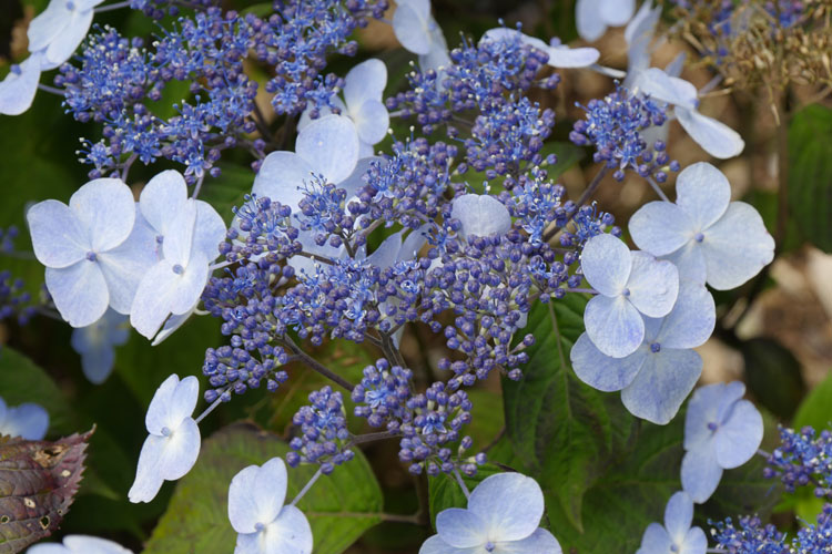 Hydrangea serrata 'Shojo' Pépinière : Sous-un-arbre-perche