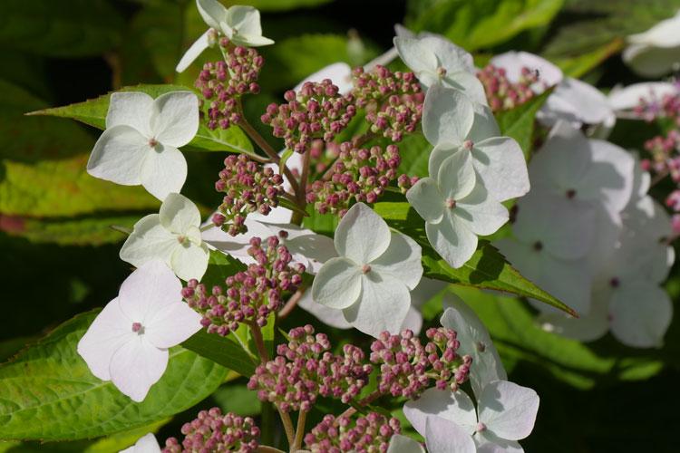 Hydrangea serrata 'Tiare' Pépinière : Sous-un-arbre-perche