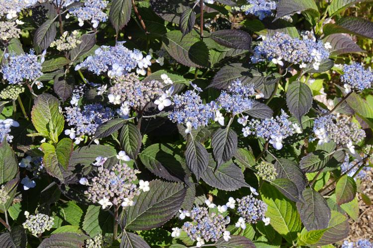 Hydrangea serrata 'Woodlander' Pépinière : Sous-un-arbre-perche
