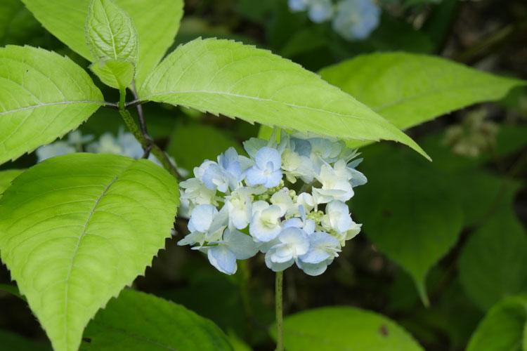 Hydrangea serrata 'Yae-no-amacha ' Pépinière : Sous-un-arbre-perche