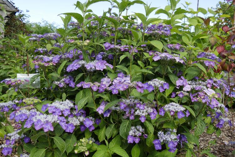 Hydrangea serrata 'Yoi-no-hoshi' Pépinière : Sous-un-arbre-perche