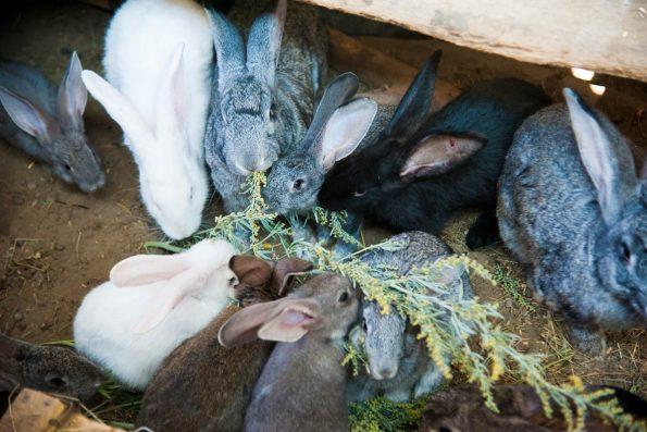 Lapins à la ferme
