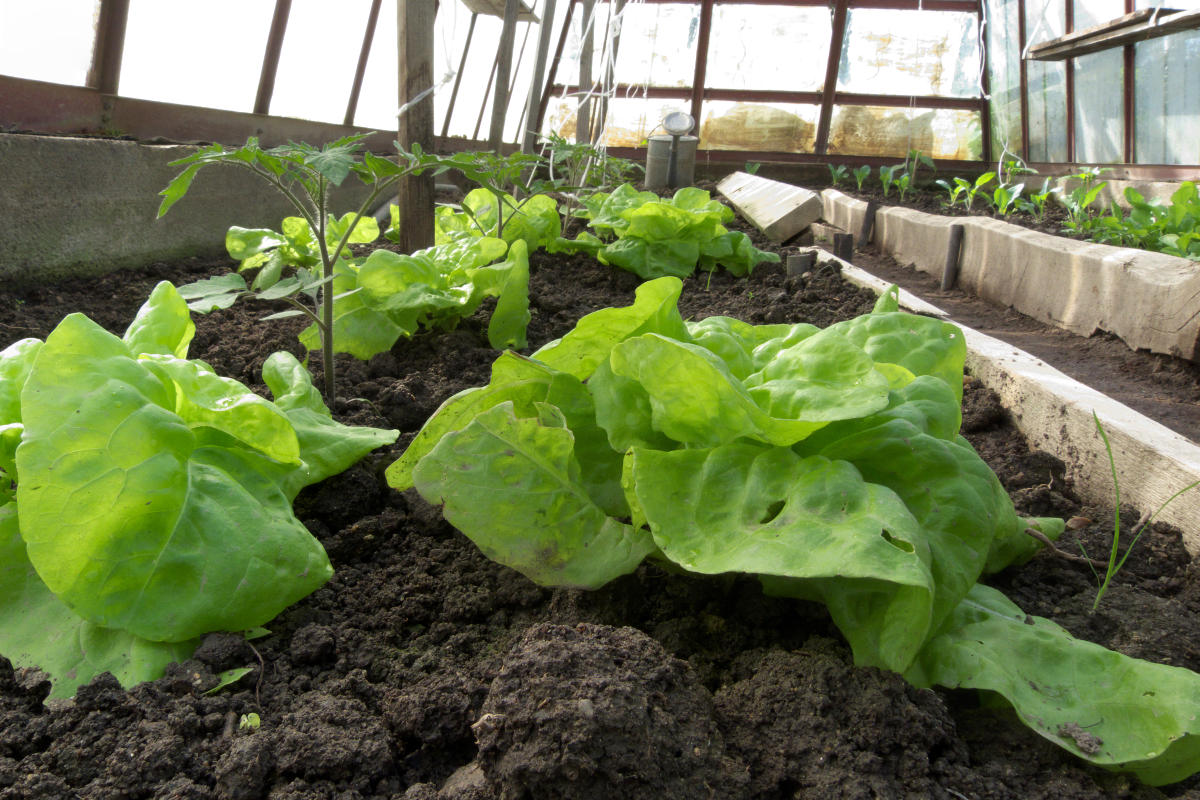 Quelle Salade Planter Maintenant degrés supplémentaires pour semis précoces - hortus focus i mag