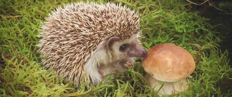 Hérisson et champignon